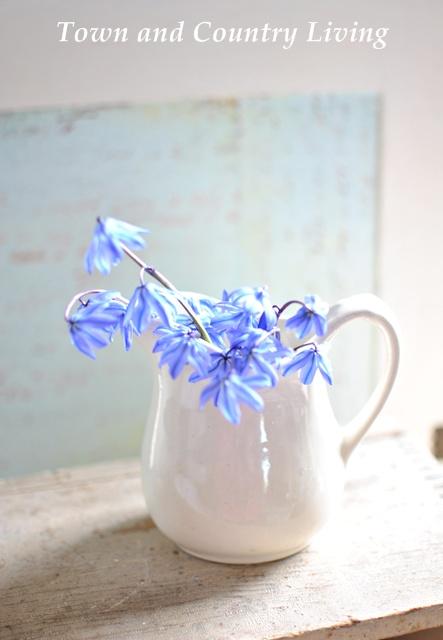 Blue scilla in white pitchers