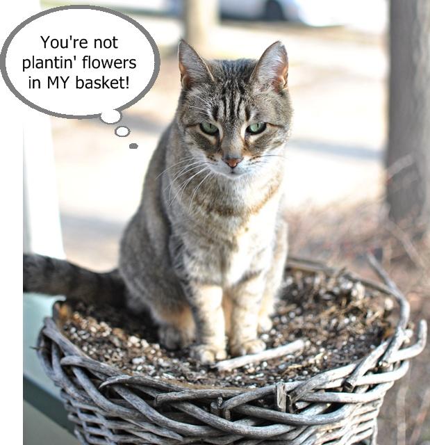 Tabby Cat in a Basket