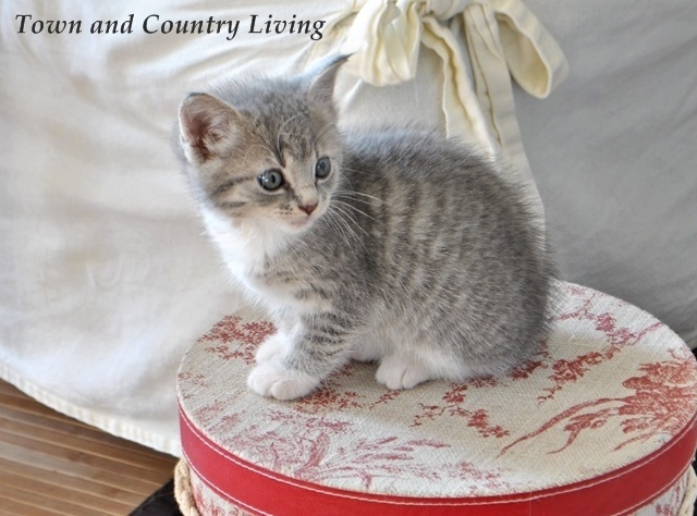 Our little kitten albie grows up town amp country living