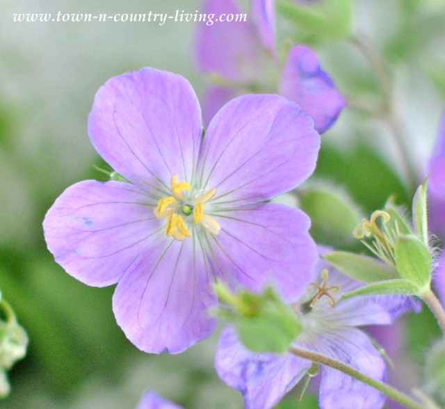 Purple Wildflower - Town and Country Living