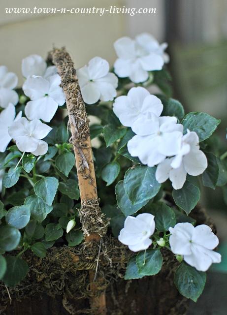 White Impatiens in a Mossy Basket - Gardening Tips