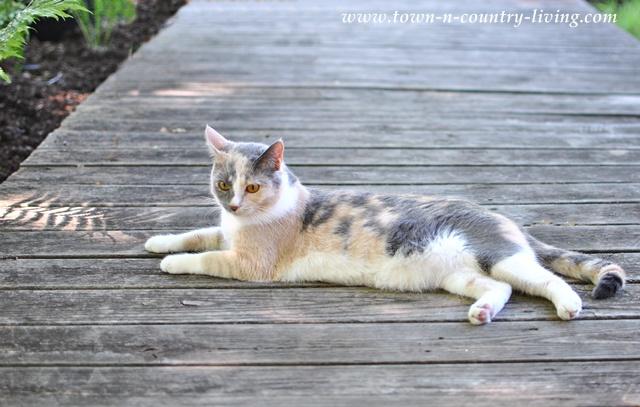 Cat on a farmhouse boardwalk
