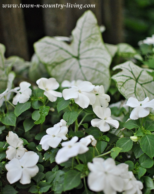 Impatiens- Tips for Successful Gardening