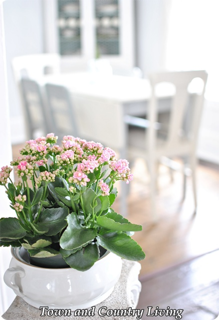 Pink Kalanchoe in Living Room