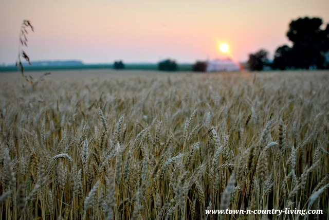 Sunset over an Illinois wheat field via Town and Country Living