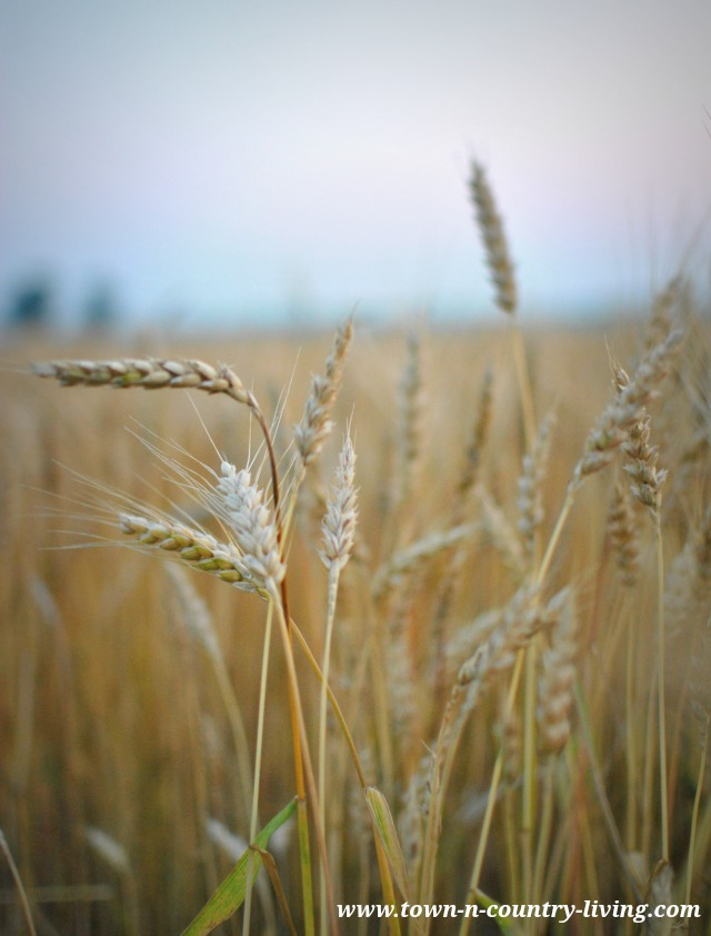 Wheat field in Illinois via Town and Country Living
