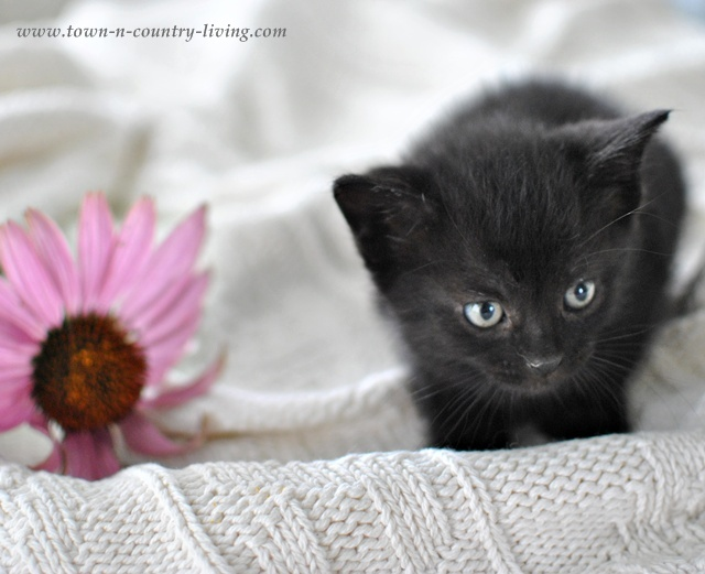 Little black kitty at Town and Country Living