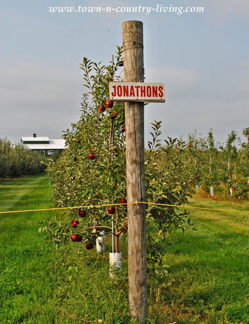Jonathon apple trees in Illinois via Town and Country Living