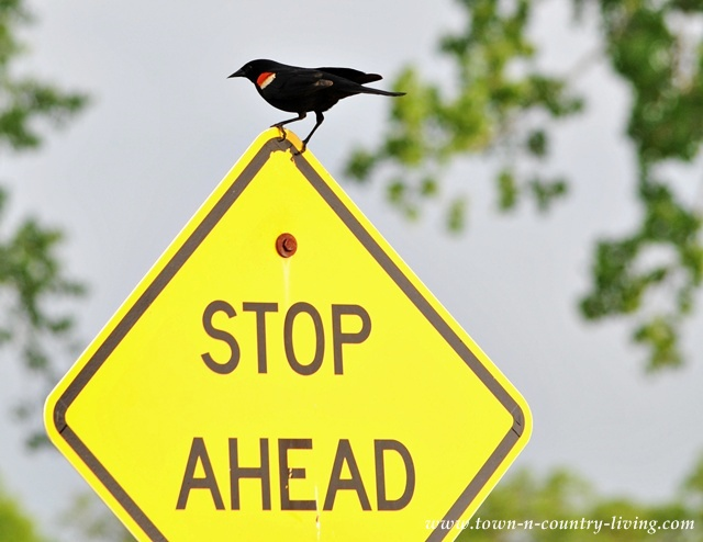 Red-Wing Blackbird at Leroy Oakes Forest Preserve