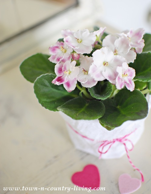 The romance of an African violet