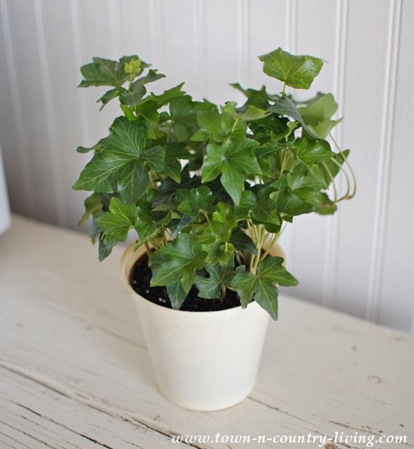 Ivy Houseplant