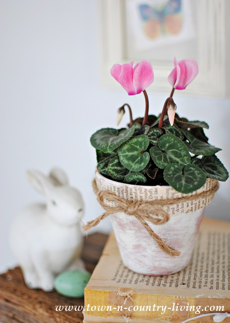 Cyclamen in whitewashed clay pot