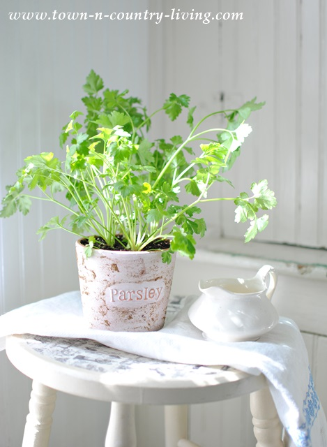 Growing Parsley in a Sunny Farmhouse Kitchen