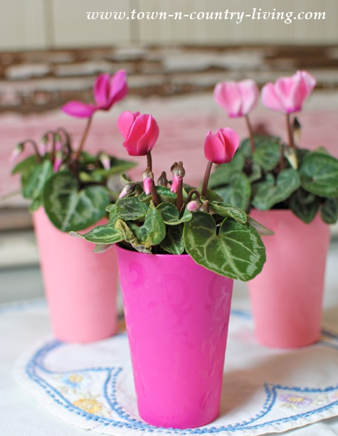 Pink miniature cyclamens