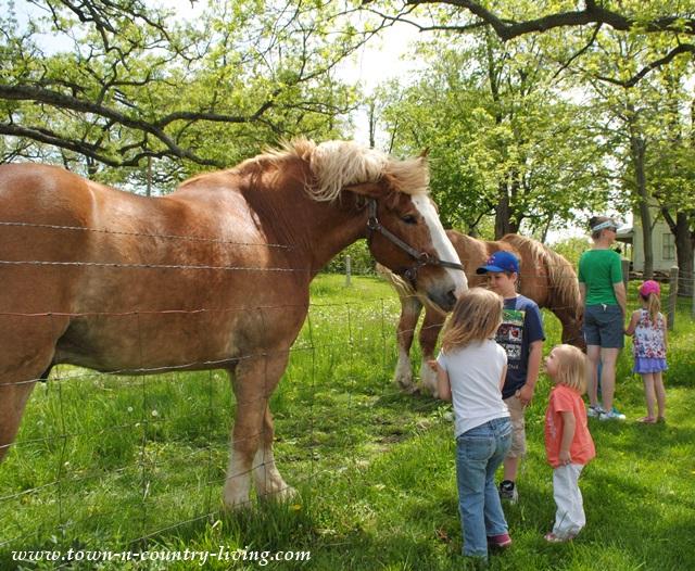 Belgian Horse at Primrose Farm