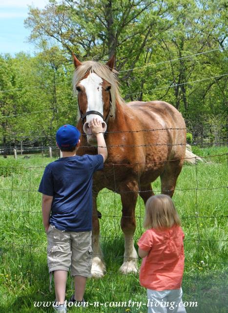 Belgian Horse at Working Farm