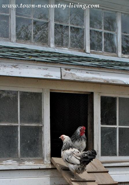 Hen House at Primrose Farm