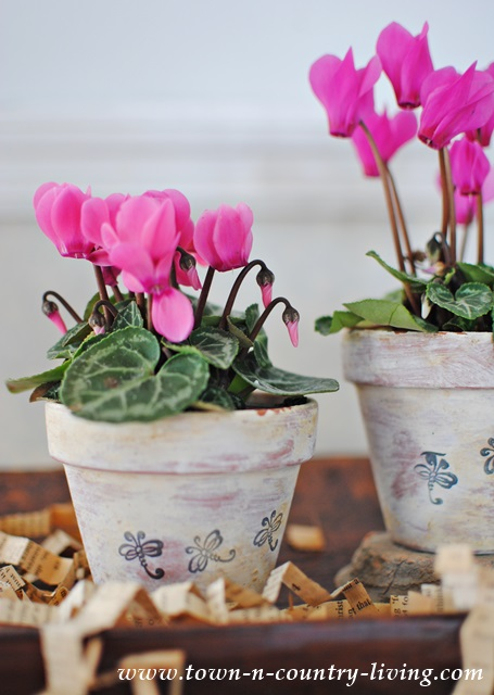 Altered Terra Cotta Pots with Mini Cyclamens