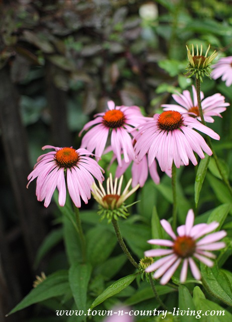 Purple Coneflowers are the perfect hardy perennial