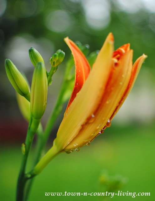 Daylilies are a hardy perennial and spread easily