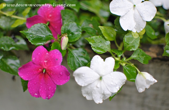 Impatiens are perfect for flower boxes in shady spots