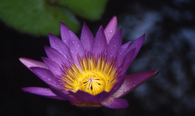 Panama Pacific Day Blooming Water Lily