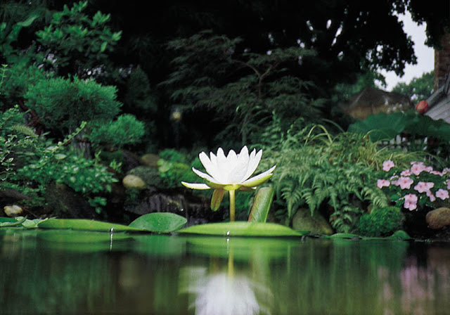 Tropical Water Lily in a Backyard Pond