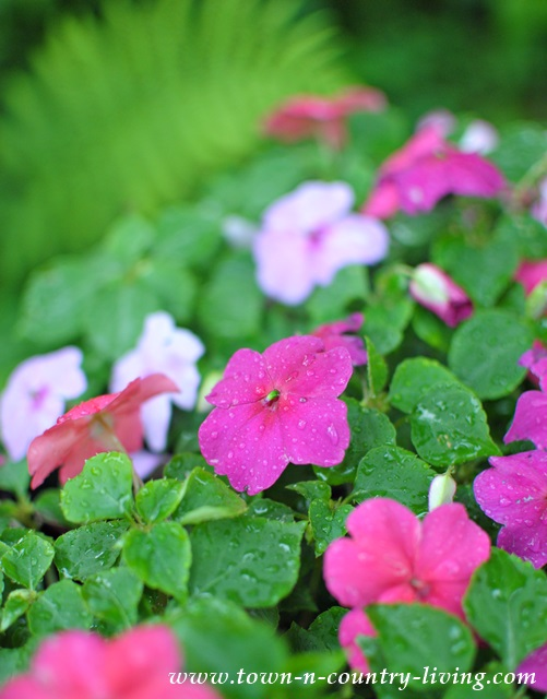 Pink and White Impatiens are easy to grow, shade-loving plants