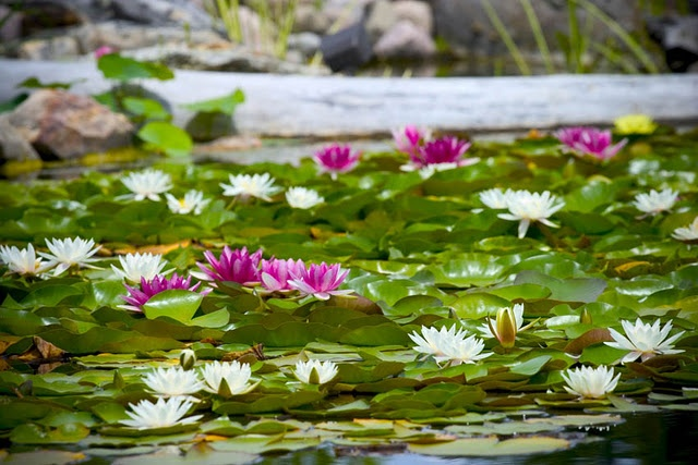 Sea of Water Lilies and Lily Pads