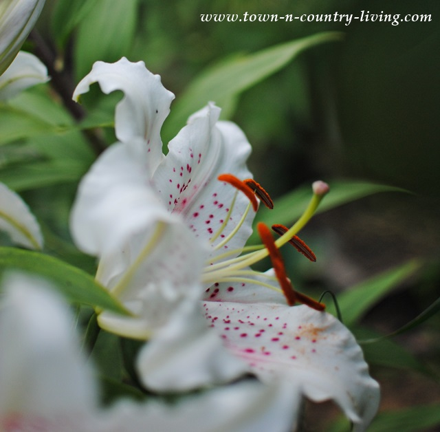 Oriental Lilies are easy to grow and add amazing beauty to the garden
