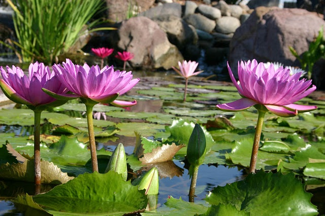 Tropical Water Lilies in a Backyard Pond