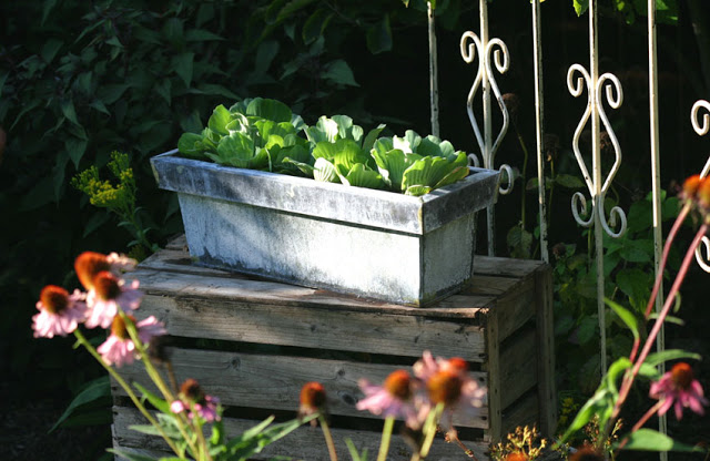 Water Lettuce in Galvanized Container