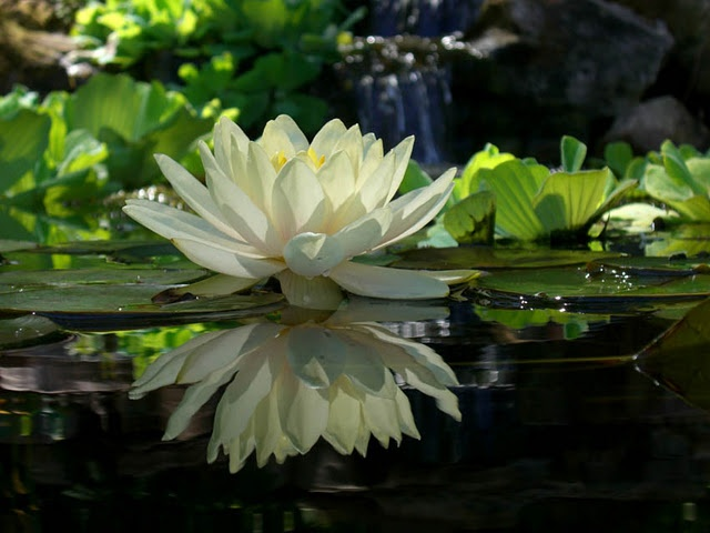 Reflection of a Water Lily on a Pond
