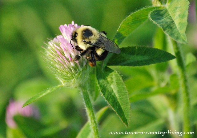 Bumble Bee drinking nectar from clover