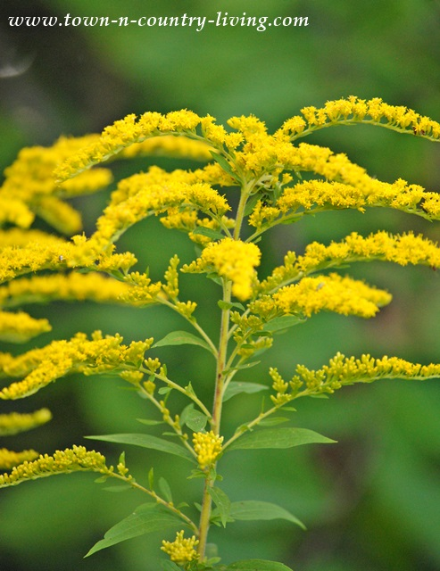 Goldenrod seen on a nature walk in Kane County Illinois