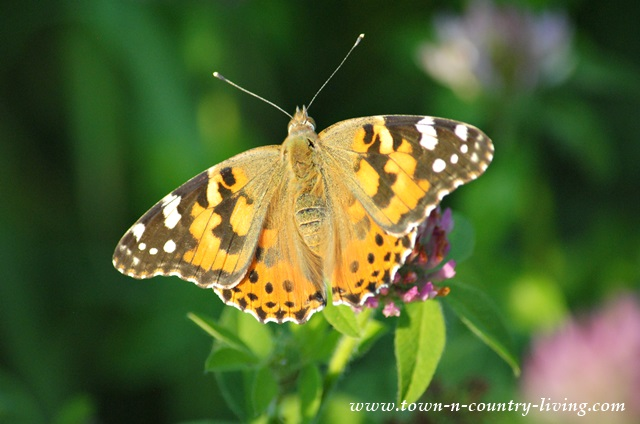 Painted Lady Butterfly in Northern Illinois