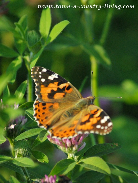 Painted Lady Butterfly aka Cosmopolite