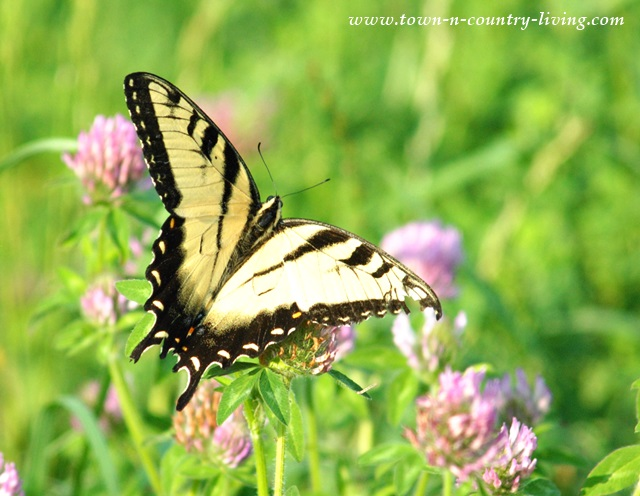 Tiger Swallowtail Butterfly in Kane County Illinois
