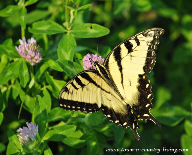 Tiger Swallowtail Butterfly on Clover