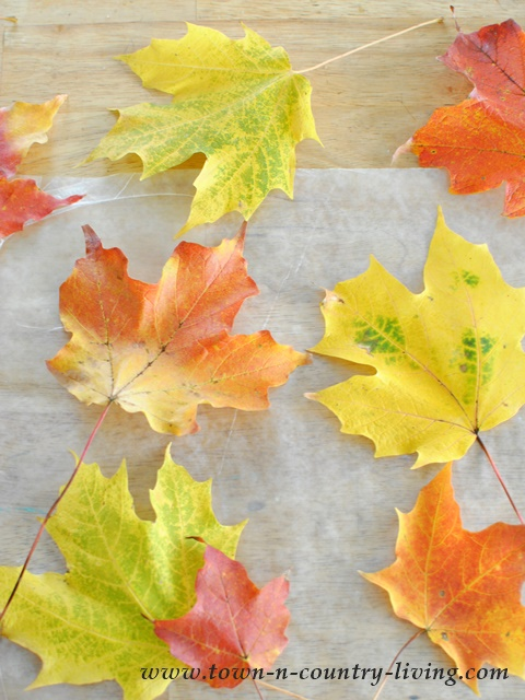 Collect colorful Fall leaves for table setting