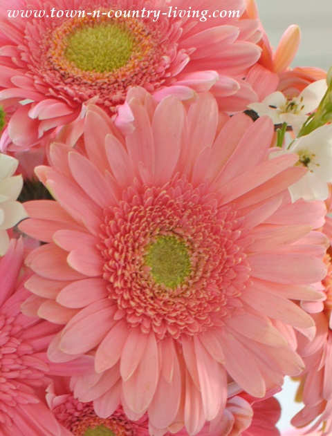 Beautiful Pink Gerbera Daisies make great cut flowers