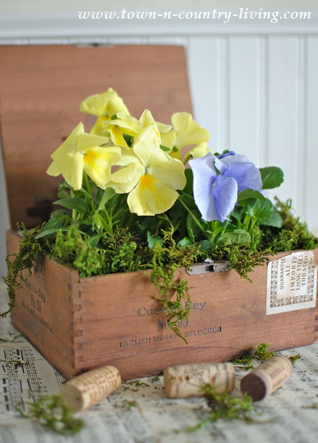 Pansies in a Cigar Box
