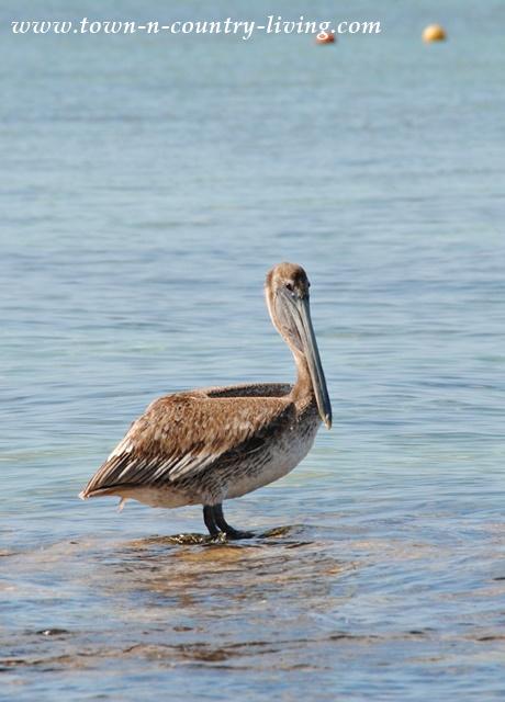 Pelican in Cozumel