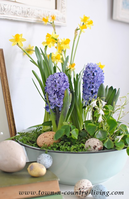 Spring Bulbs planted in an aqua enamelware bowl