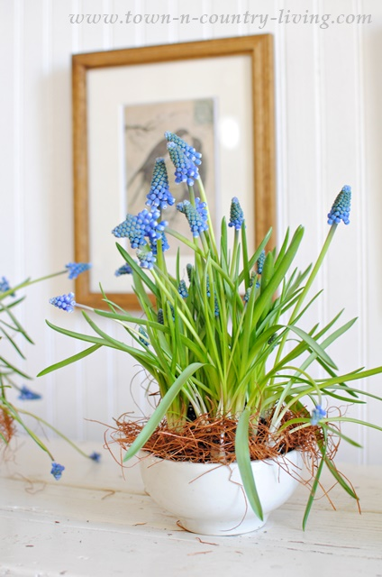 Indoor Gardening with Grape Hyacinths