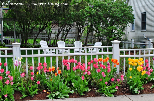 Tulips line a fenced-in yard in historic St. Charles, Illinois