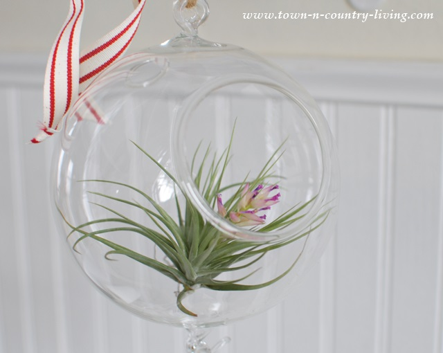 Air Plants only Flower Once in their Lifetime